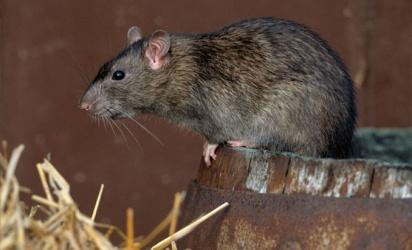 Борьба с крысами на животноводческих фермах