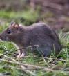 Лабораторное тестирование отпугивателей крыс.